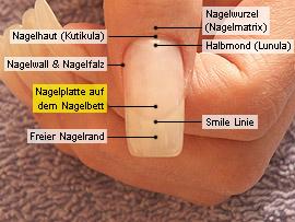 Nagelplatte und Nagelbett